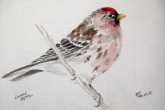 © Bev Mazurick - Common Redpoll
