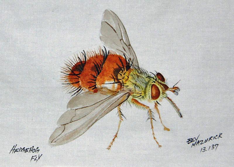 © Bev Mazurick - Hedgehog Fly