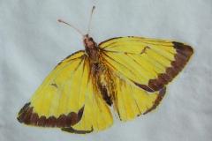 Bev_Mazurick-Queen_Alexandra_Sulphur_Butterfly
