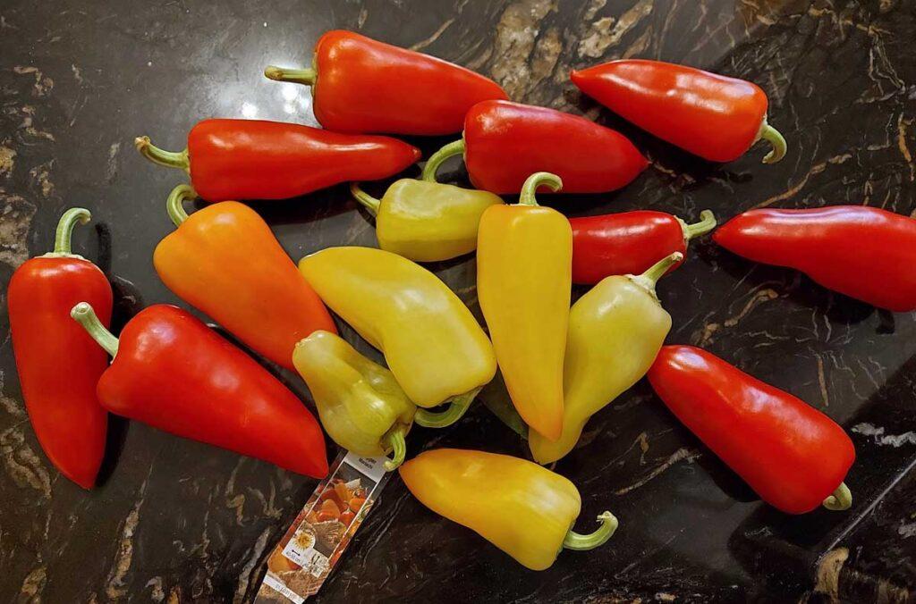 Pepper Harvest 2020